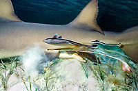 tail of pup protrudes between pelvic fins of mother during live birth of lemon shark, Negaprion brevirostris, Bimini, Bahamas, Caribbean Sea, Atlantic Ocean