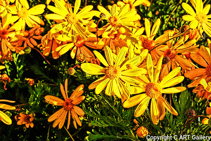Yellow flowers on a sunny day, Southern California.