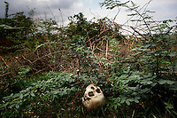 A skull lies on the ground near a Buddhist graveyard that appears to have been recently desecrated in Meikhtila. In the four days of ethnic violence starting on March 21st, 2013 over 43 people were killed in Meikhtila and nearly 13,000 people, mostly Muslims, were driven from their homes and businesses. /Felix Features