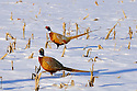 00890-038.07 Ring-necked Pheasant pair of rooster are in a snow covered corn stubble field during winter.  Hunt, cold, farm, feed, food, survive.