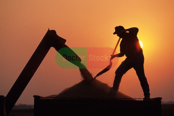 farmer silhouetted against the setting sun shoveling rice in a truck