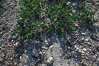 CROATIA, Belica, cellery farming at Dodlek Agro / KROATIEN, Belica, Kartoffelanbau bei Familienbetrieb Dodlek Agro, neben Kartoffeln werden auch Sellerie angebaut, steinige Böden