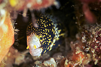 Clouded moray eel (Echidna nebulosa) hiding under a rock in Similan Islands, Andaman Sea, Thailand,