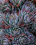 Echevarria, Sedum spathulifolium, Fern Canyon Garden, Mill Valley, California