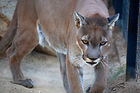 A Cougar at the Exotic Feline Breeding Compound in Rosamond, California