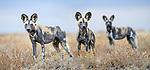 African painted dogs (Lycaon pictus)(sometimes wild dog or hunting dog). Outside den, Engusoro Plain, Ngorongoro Conservation Area (NCA) / Serengeti. Tanzania.