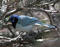 Blue-colored green jay at Laguna Atascosa NWR in spring 2007