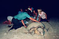 park ranger and volunteers measure loggerhead sea turtle, Caretta caretta, nesting on beach, Cape Florida State Park, Miami, Florida, Atlantic Ocean