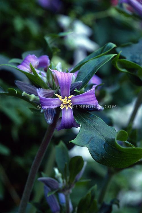 Clematis heracleifolia var. davidiana, herbaceous clematis, species, aka Tube Clematis, herbaceous erect perennial that dies back to the ground each year