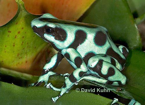 0930-07nn  Dendrobates auratus ñ Green and Black Arrow Frog ñ Green and Black Dart Frog  © David Kuhn/Dwight Kuhn Photography