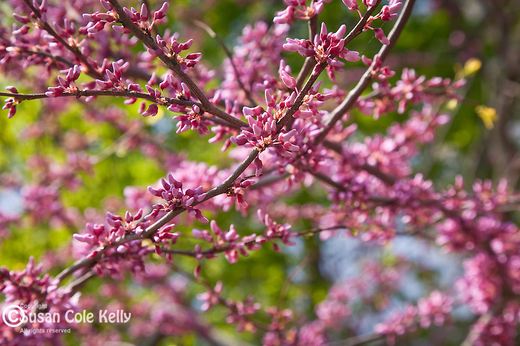 Redbuds in bloom at the Arnold Arboretum, part of Boston's Emerald Necklace in the Jamaica Plain neighborhood of Boston, MA, USA
