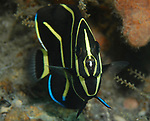 French angelfish juvenile, Pomacanthus paru