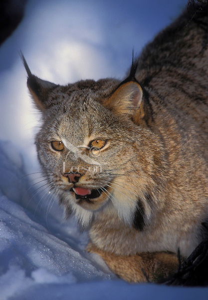 LYNX ready to make a quick leap from it hiding place. Winter. Rocky Mountains..(Felis lynx canadensis).