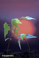 MP10-002b  Red Maple seedling bending to sun - phototropism