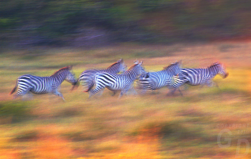 African Zebras on the move during the last light of the day in the unique wildlife conservation reserve Calauit Palawan Philippines