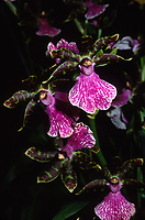 Zygopetalum River Murray, orchid hybrid back cross of B.G.White x mackayi
