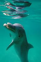 bottlenose dolphin, Tursiops truncatus, wild but habituated, west coast of Florida, Gulf of Mexico, Atlantic