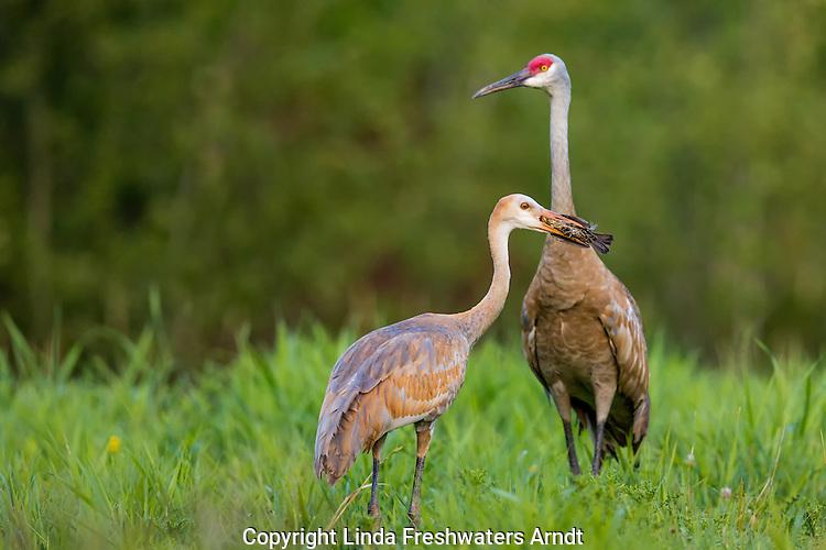 Sandhill crane eating a red-winged blackbird
