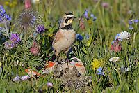 Male Horned Lark or Shore Lark (Eremophila alpestris) at nest.  Western U.S., Summer.