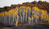 Fall colors have arrived to Kolob Terrace just outside Zion National Park, Utah