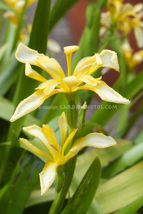 Iris foetidissima var. lutescens yellow flowers
