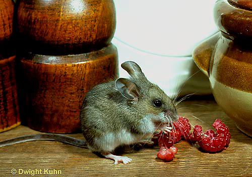 MU56-023z  Deer Mouse - immature young in kitchen  - Peromyscus maniculatus