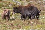 USA, Washington, Mount Rainier National Park, black bear and cubs (Ursus americanus)