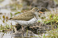Spotted Sandpiper walking through some shallow water