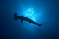 Silhouette of scalloped hammerhead, Sphyma lweini, at Roca Partida in the Revillagigedos Islands, Mexico, Pacific Ocean