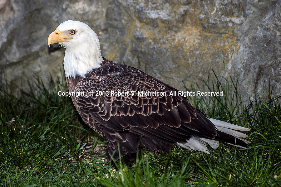 bald eagle standing in grass