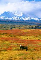 moose, Alces alces, bulls walking on fall tundra, Denali National Park, Alaska, USA
