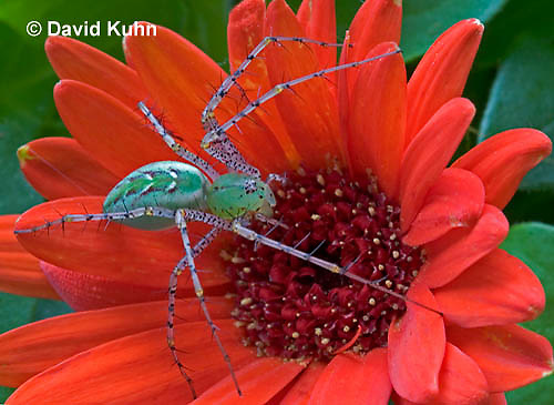 "0625-07oo  Green Lynx Spider - Peucetia viridans  ""Eastern Variation"" - © David Kuhn/Dwight Kuhn Photography"