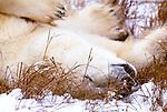Polar bear, Churchill, Manitoba, Canada