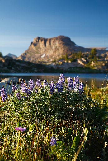 Lonesome mountain and lupine wildflowers along the high lakes trail in beartooth wilderness area