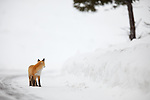 A single red fox glances over it's shoulder along the North road of Yellowstone National Park in winter.