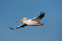 American White Pelican (Pelecanus erythrorhynchos), adult in flight, Sinton, Corpus Christi, Coastal Bend, Texas, USA