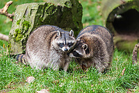 Two raccoons (Procyon lotor), captive, Saarland, Germany, Europe