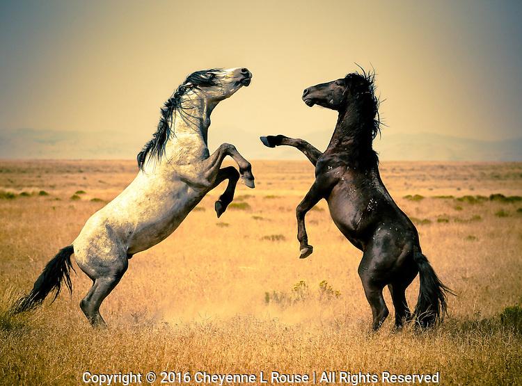 Wild mustangs (horses) dueling in the Utah desert