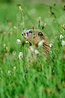 Olympic Marmot (Marmota olympus) in subalpine meadow.  Olympic National Park, WA.  Summer.