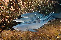 whitetip reef shark, Triaenodon obesus, resting on the ledge, Roca Partida, Revillagigedo Islands, Mexico, Pacific Ocean