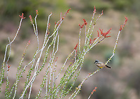 Cassin's Kingbird, Tyrannus vociferans, perches in an Ocotillo, Fouquieria splendens, in Sonoita Creek State Natural Area, Arizona