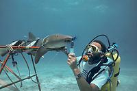Dr. Samuel H. Gruber of University of Miami, using dye filament to study respiratory flow and olfaction of nurse shark, Ginglymostoma cirratum, Bahamas, Caribbean Sea, Atlantic Ocean