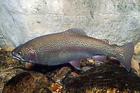 Cutthroat Trout (Oncorhynchus clarki) (c) Freshwater species.