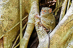 Adult spectral tarsier (Tarsius spectrum), (sometimes Tarsius tarsier) (in recent taxonomic revision, Gursky's spectral tarsier (Tarsius spectrumgurskyae)) in day-time roost tree (Ficus sp.). Tangkoko National Park, Sulawesi, Indonesia.