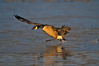 Canada Goose (Branta canadensis) running on ice to take flight..Coastal British Columbia. Canada..Winter.