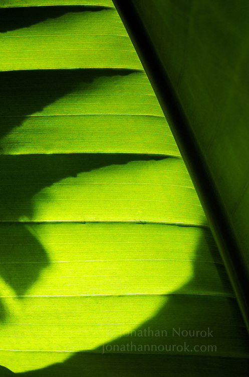 A close-up of a banana palm frond.