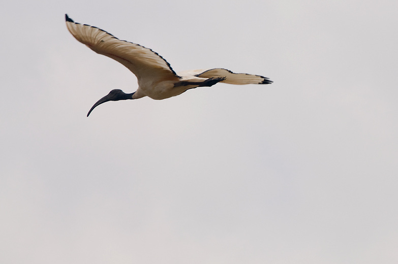 The sacred Ibis is one of Kenya's common Ibises.   Normally the feed on wetlands but often scavenge for food around human habitation. Quite distinct from Kenya's other Ibises and easily recognized in flight by the white wings with a black fringe all the way around. In  ancient  Egypt,  it was venerated and often mummified as a symbol of the god Thoth, thus the name 'sacred'.