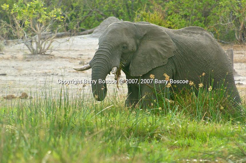 African Bull Elephant grazing  in the Okavango Delta, Botswana Africa.  Note the broken tusk.