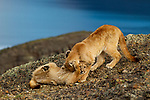 Mountain Lion (Puma concolor) six month old kittens playing, Torres del Paine National Park, Patagonia, Chile