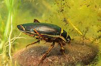 Gelbrandkäfer, Gelbrand-Käfer, Gelbrand, Männchen, Dytiscus marginalis, great diving beetle, male, Schwimmkäfer, Dytiscidae